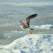 Seagull in winter — Stock Photo