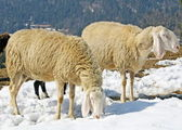 Sheep grazing in the mountains in the snow in search of grass — Stock Photo