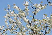 Cherry blossoms bloom in spring in the Italian hills — Stock Photo