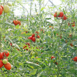 Stock Photo: Cherry tomatoes in greenhouse in Italy