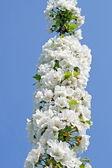 Fiori di ciliegio fioriscono in primavera le colline italiane — Foto Stock