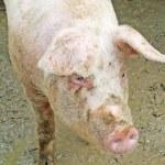 maiale rosa in un porcile pieno di fango — Foto Stock