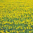 Stock Photo: Flowery meadow with lots of sunflowers in spring