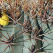 Stock Photo: Thorns and spines very pungent fat cactus in Sun