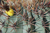 Thorns and spines very pungent a fat cactus in the Sun — Stock Photo