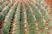 Thorns and spines very pungent a fat cactus — Zdjęcie stockowe