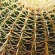 Stock Photo: Dangerous cactus with spines very dense