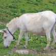White baby donkey and graze in mountains — Stock Photo #10560860