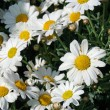 White Daisy in a flower shop - Stock Photo