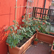 Tomato plants grown on a vegetable garden in a balcony - Stock Photo