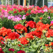 Geraniums for sale in shop of nurserymflorist — Stock Photo #10561090