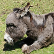 Donkey with dark hair lying on the ground - Stock Photo