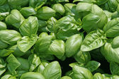 Fragrant basil leaves for flavour in cooking — Stock Photo