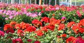 Geraniums for sale in the shop of a nurseryman florist — Stock Photo