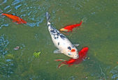 Grande pesce rosso in una vasca con un acquario — Foto Stock