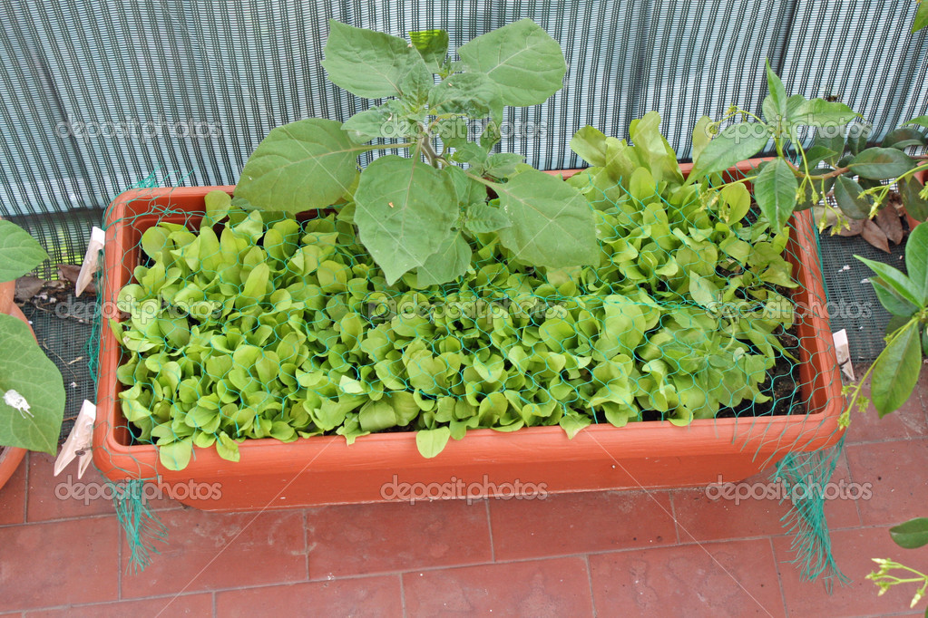 """fresh green salad grown on a vegetable garden in a balcony""."