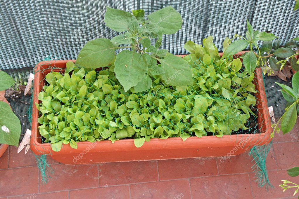 Свіжий зелений салат, вирощених на овоч саду в балкон - сток.
