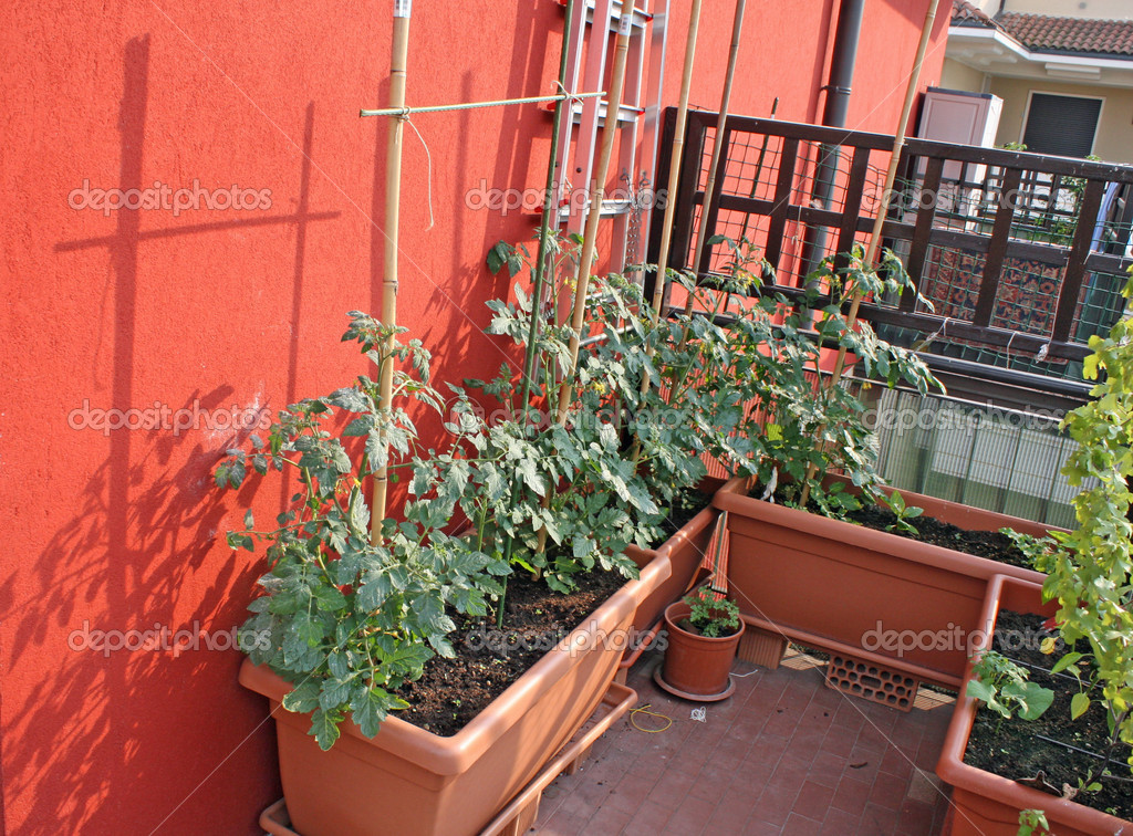 Piante di pomodoro coltivate su un vegetale giardino in - Giardino in balcone ...
