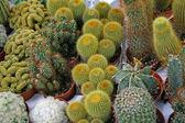 Serie di cactus pungente per la vendita in una serra — Foto Stock