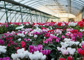 Series of vases of flowers violets and cyclamen in a greenhouse — Stock Photo