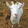 White goat with two horns in the fold — Stock Photo #8835204