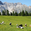 Mountain herd of cows grazing the green grass grazing — Stock Photo