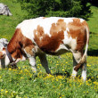White and brown cow eats the grass of a lawn in the summer in the mountains — Stock Photo #8837327