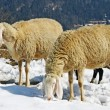 Royalty-Free Stock Photo: Sheep grazing in the mountains in the snow in search of grass to eat