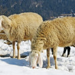 Sheep grazing in the mountains in the snow in search of grass to eat — Stock Photo