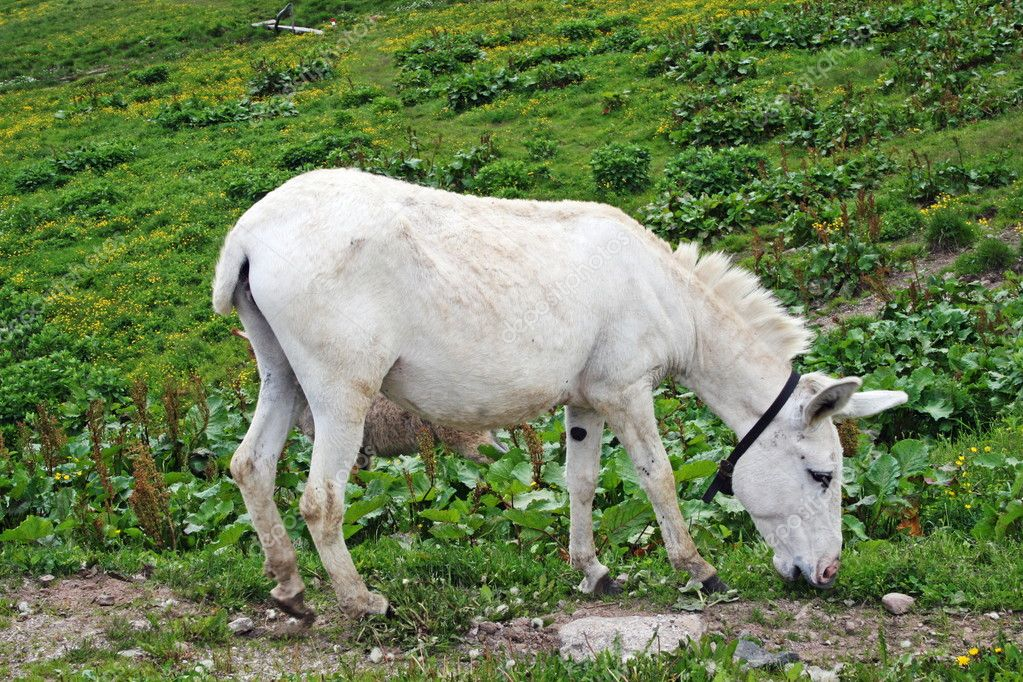 White baby donkey and a graze in the mountains — Stock Photo #8837398