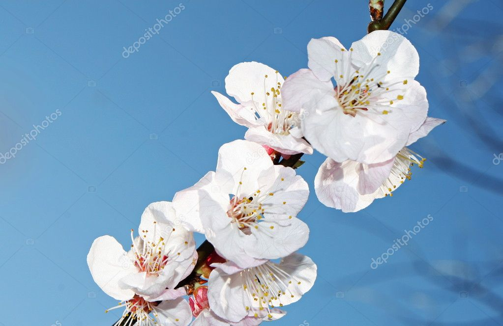 Branch with many of cherry blossoms in spring — Stock Photo #8840135