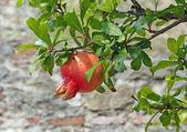 Matures grenade arbre et rouge et jaune des feuilles — Photo