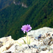 Purple flower on the edge of a ravine in the mountains - Stock Photo