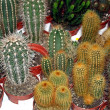 Stock Photo: Series of pungent cactus for sale in greenhouse