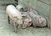 Pigsty of a farm with some pigs pink — Stock Photo