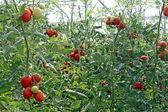 Rode cherry tomaten in een kas in italië — Stockfoto