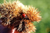 Ladybug red with black dots above a hedgehog of a chestnut — Stock Photo