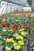 Interior of a greenhouse for growing flowers — Stock Photo
