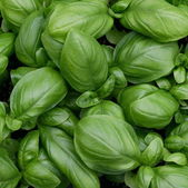 Green leaves of fresh basil ready to be used in cooking — Stock Photo