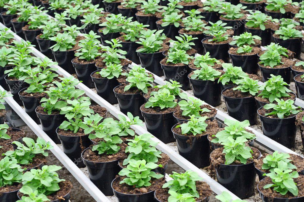 Växthus Odla : Inredning av ett växthus för odling växter ? stockfotografi