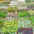 Stock Photo: Variety of succulents and catcus on sale from florist