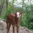 Small newborn calf standing beneath the  Woods — Stock Photo