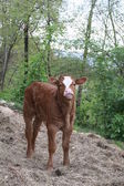 Pie pequeño becerro recién nacido bajo el bosque — Foto de Stock
