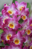 Orchid just blossomed photographed up close — Stock Photo