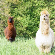 Alpaca with the body covered with soft woolly curls - Stock Photo
