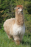 Alpaca with the body covered with soft woolly curls — Stock Photo