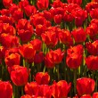 Stock Photo: Red tulips background