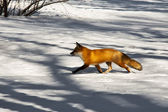 Red fox (Vulpes vulpes) walking in the snow — Stockfoto