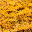 Golden leafs of Larix conifer — Stock Photo
