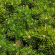 Conifer branches — Stock Photo